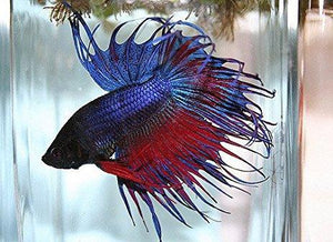Bettas | Crown Tail Betta (Multi-Colored)