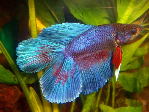 Bettas | Double Tail Betta (Multi-Colored)