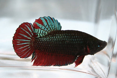 Bettas | Short Tail Betta (Multi-Colored)