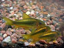 Catfish | Gold Green Cory Catfish