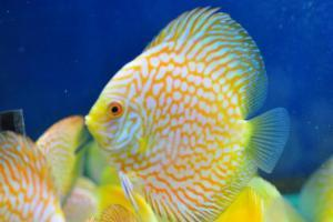 Discus | Gold Pigeon Blood Discus