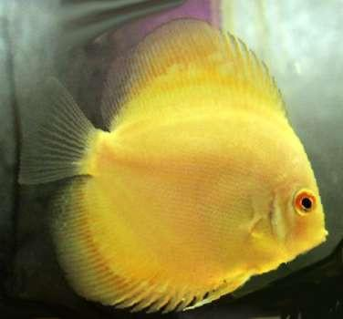 Best Food For Baby Discus