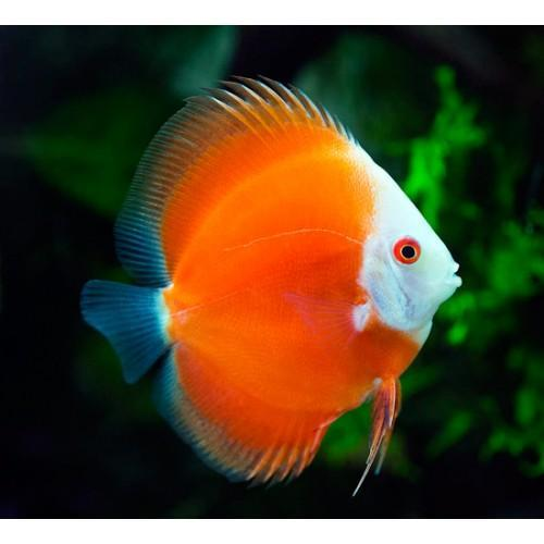Discus | Red Melon Discus