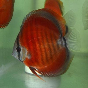 Discus | Rose Red Discus