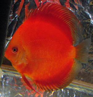 Discus | Super Red Discus