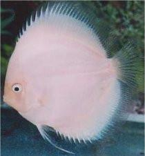 Discus | White Diamond Discus