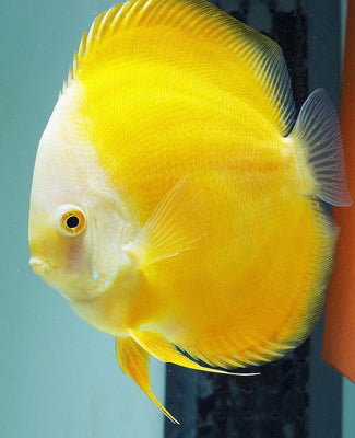 Discus | Yellow Golden Discus
