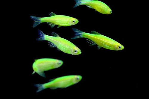 GloFish | Electric Green GloFish Danio
