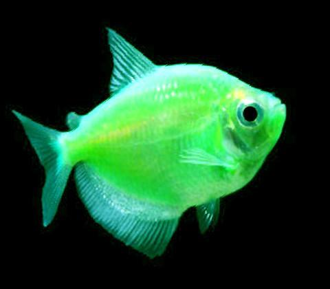 GloFish | Electric Green GloFish Tetra