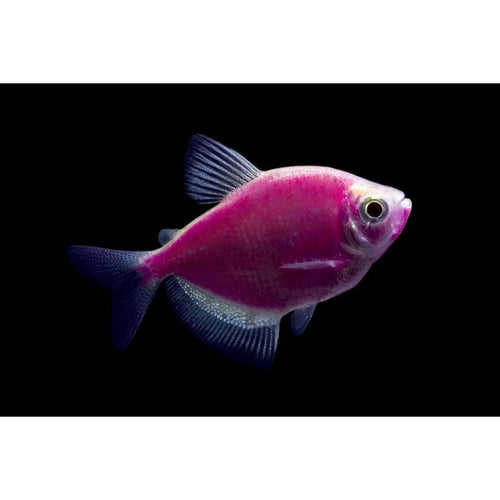 Aquarium Fish for Sale | Tetra Fish for Sale | Lowest