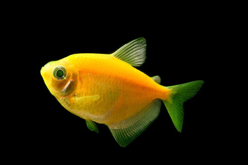 GloFish | Sunburst Orange GloFish Tetra