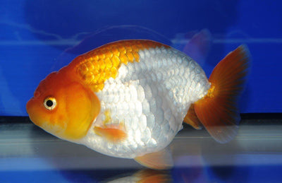 Goldfish | Ranchu