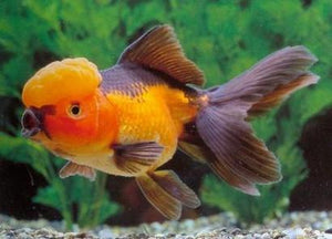 Goldfish | Red And Black Oranda