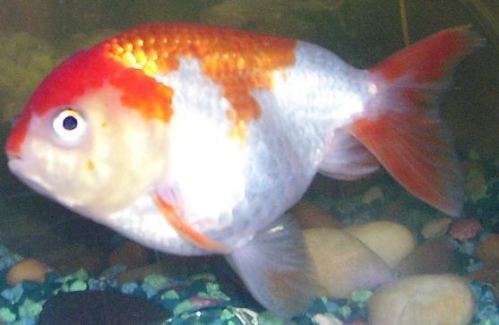 Goldfish | Red And White Lionhead
