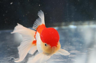 Goldfish | Red And White Oranda