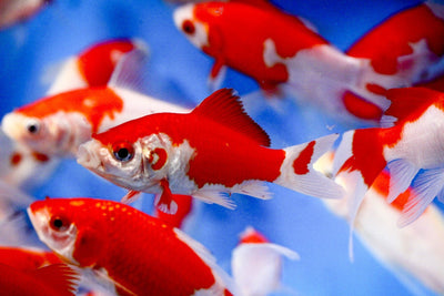 Pond Fish for Sale   Koi   Goldfish   Lowest Prices Online – The