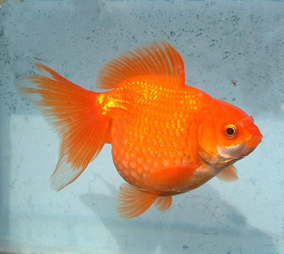 Goldfish | Red Pearlscale