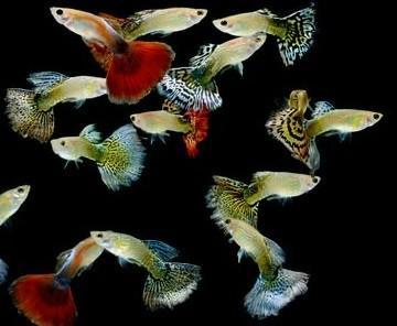Guppy | Assorted Guppy Pairs