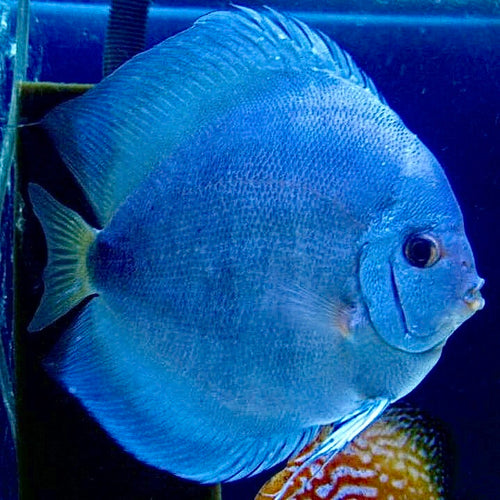 Discus | Blue Diamond Discus