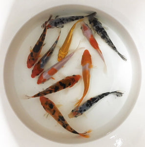 "Koi | Assorted Imported Koi Fish | Bulk Packs (4"")"