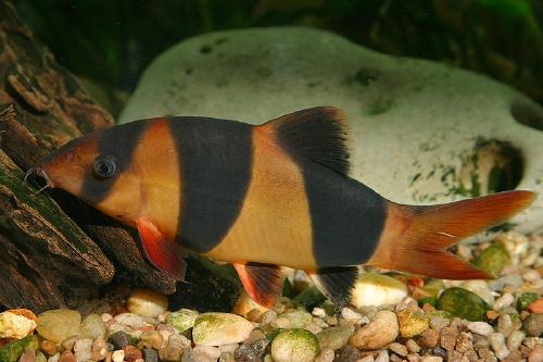Loaches | Clown Loach