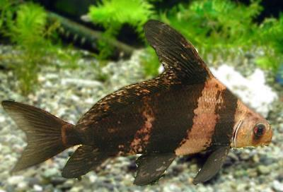 Loaches | Hi Fin Banded Loach
