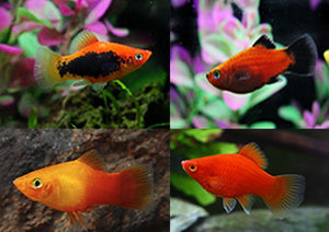 Platy | Assorted Platies (10 Pack)