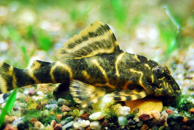 Plecostomus | Clown Pleco