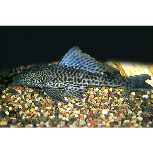 Plecostomus | Common Plecostomus