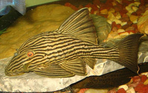 Plecostomus | Royal Pleco