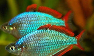Rainbow Fish | Praecox Rainbow