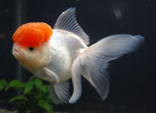 Aquarium Fish for Sale | Goldfish | Red Cap Oranda