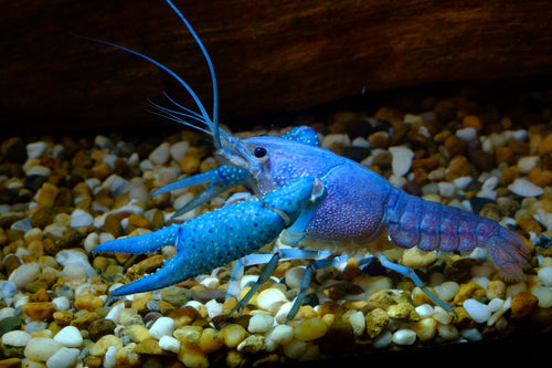 Invertebrates | Blue Lobster