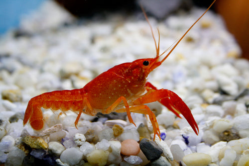 Invertebrates | Orange Lobster