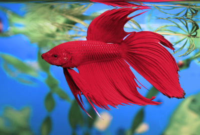 Bettas | Red Betta