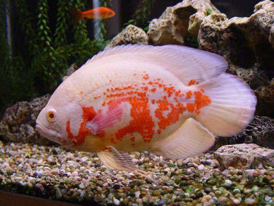 South American Cichlid | Albino Red Tiger Oscar