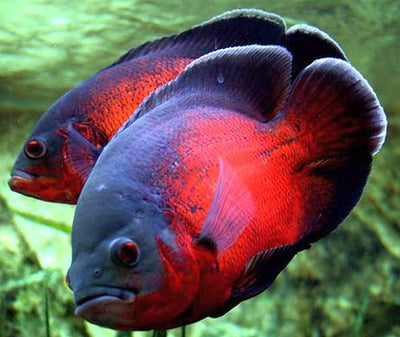 South American Cichlid | Red Oscar