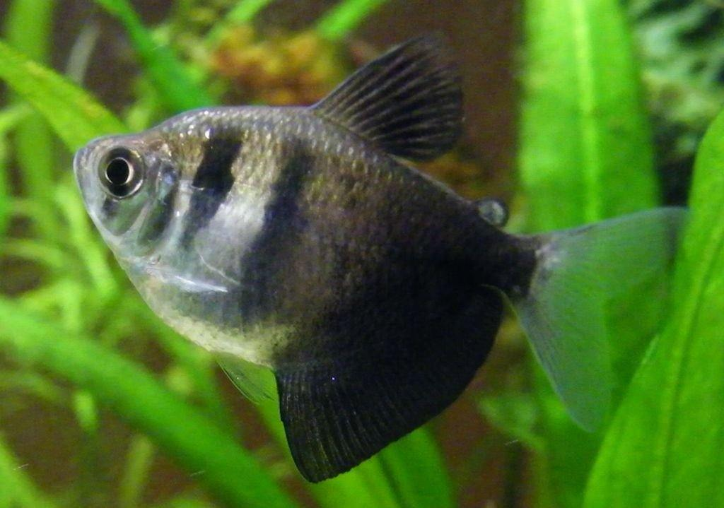 Black Tetra Healthy Freshwater Fish The Ifish Store The Ifish Store