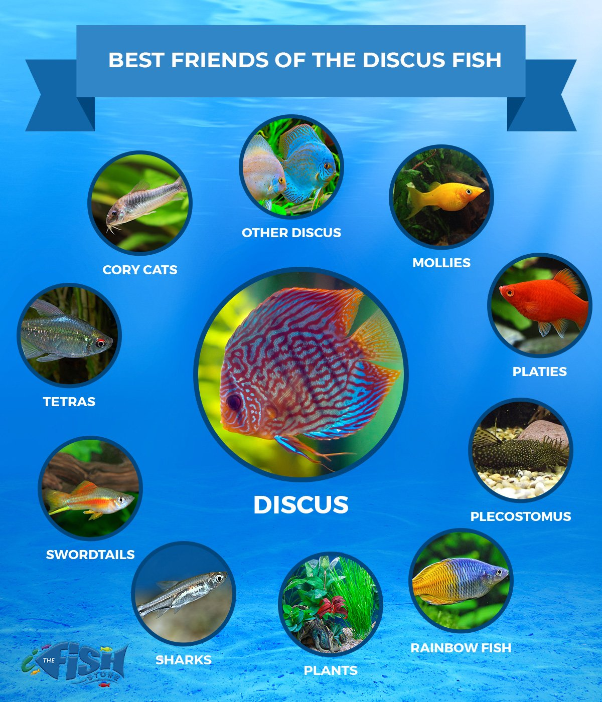 Best Friends of the Discus Fish: Other Discus, Mollies, Platies, Plectostomus, Rainbow Fish, Plants, Sharks, Swordtails, Tetras, Cory Cats