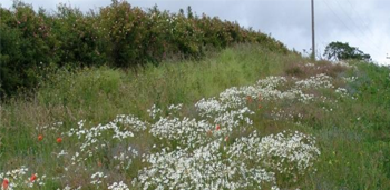 Field Margin 4 with Wildflowers and fine grass