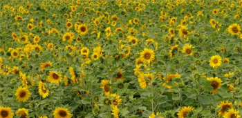 Standard Sunflowers