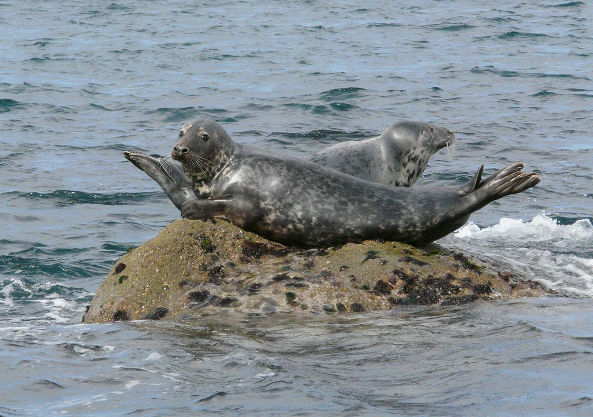 Seals relaxing on offshore rock