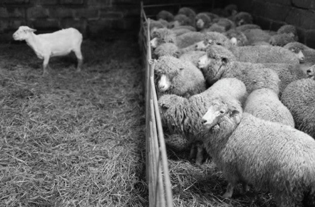 Resurrecting A British Sheep Breed Finisterre