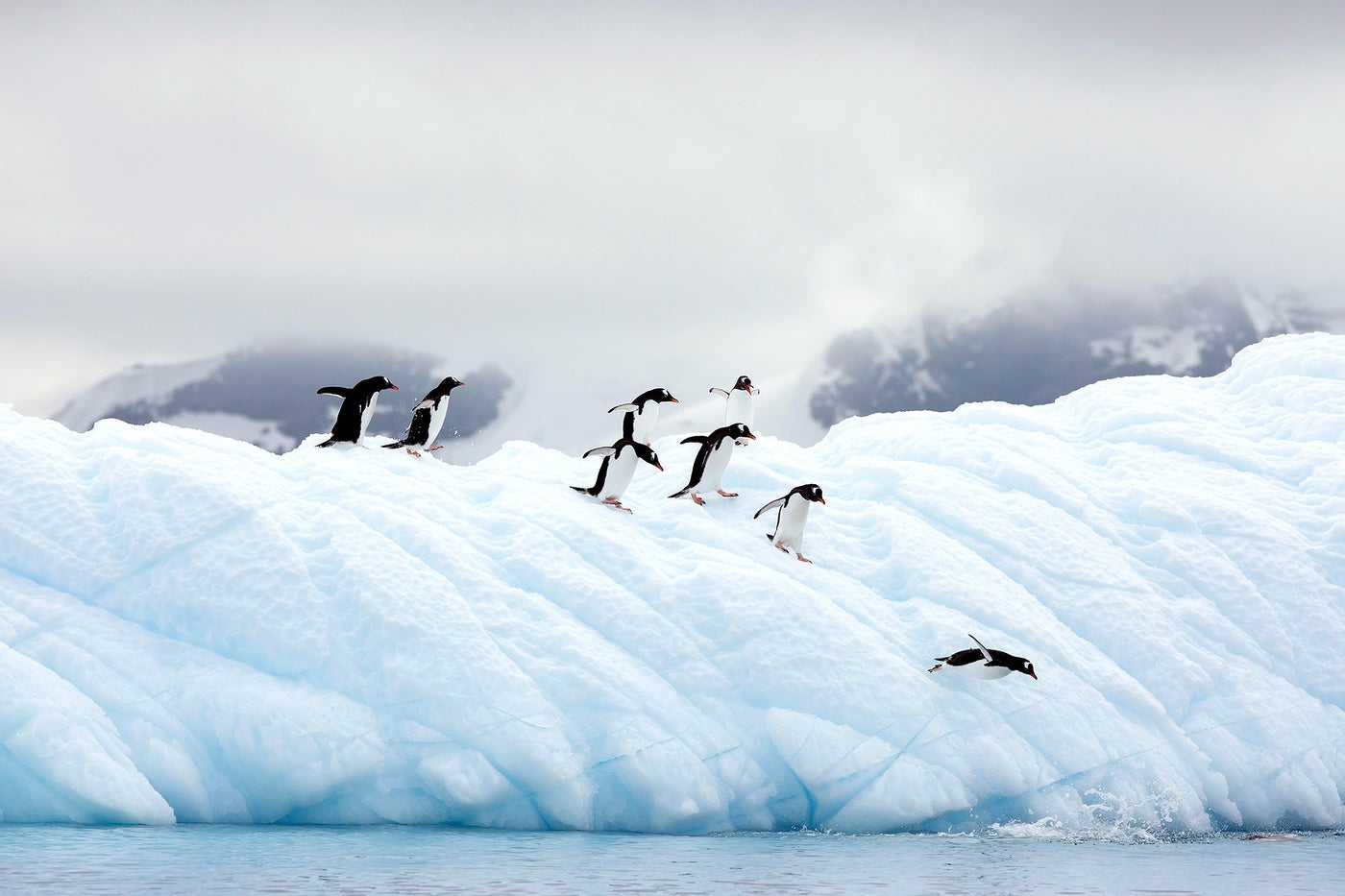 A group of penguins taking the plunge off the ice shelf to begin their fishing journeys