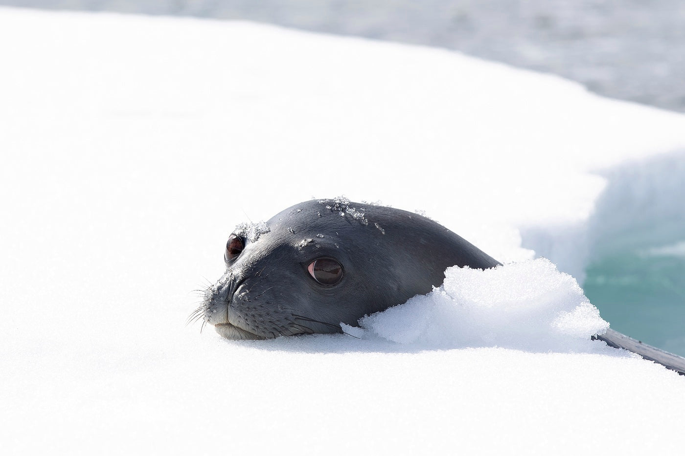 A leopard seal resting its head on an ice shelf just out of the water