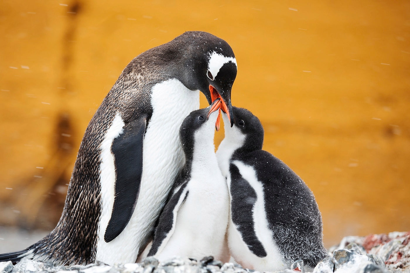 A penguin parent feeding its two chicks after returning from days at sea