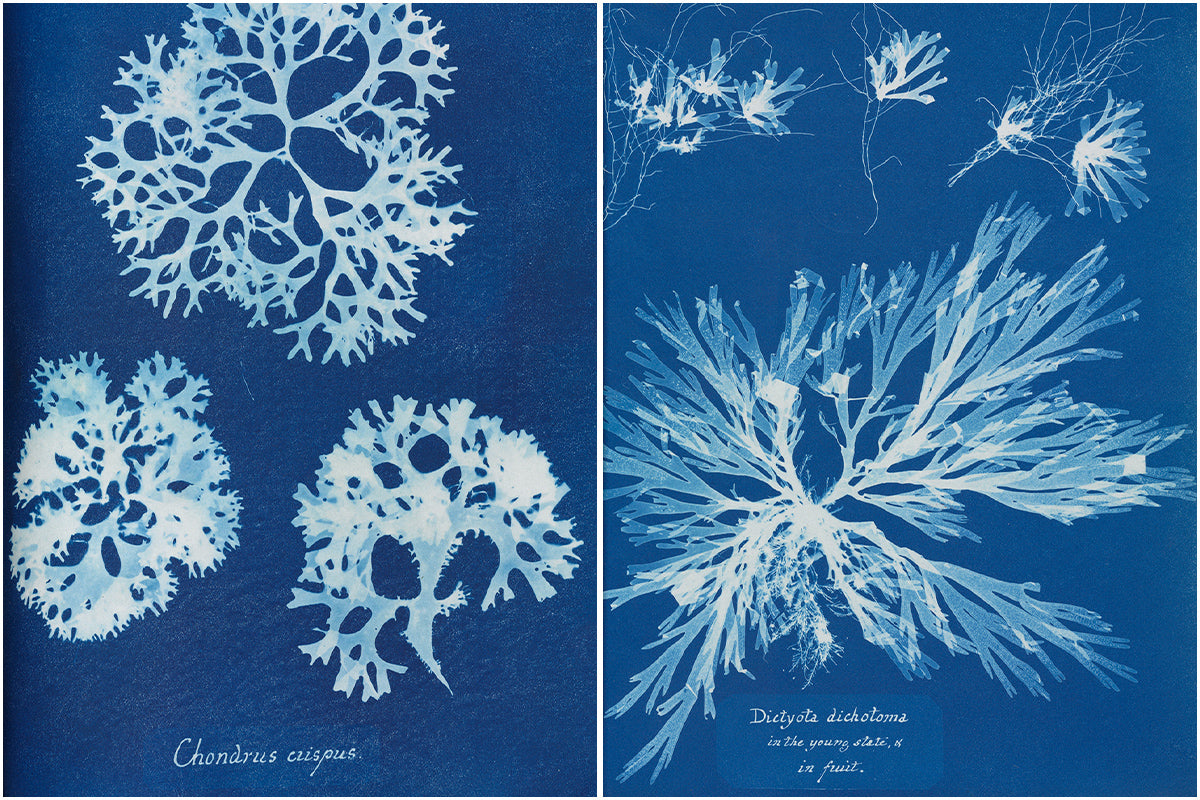 Original cyanotype images created by Anna Atkins which formed the basis of our print.