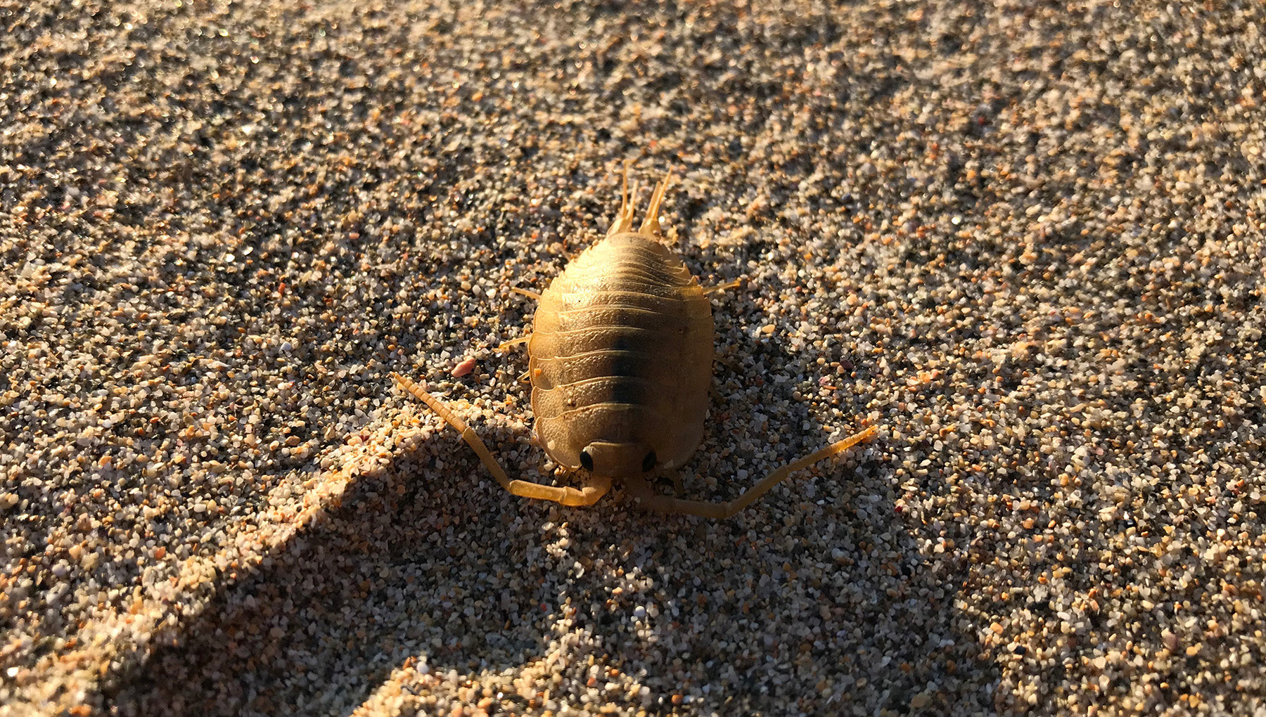 Sea Slater, a small crustacean, emerging from the sand