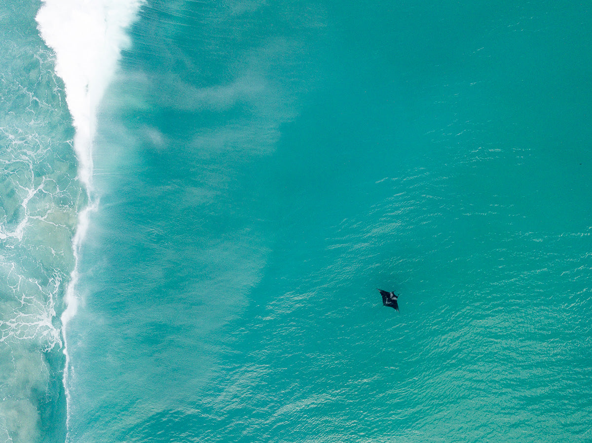 A manta ray swimming by the shore break