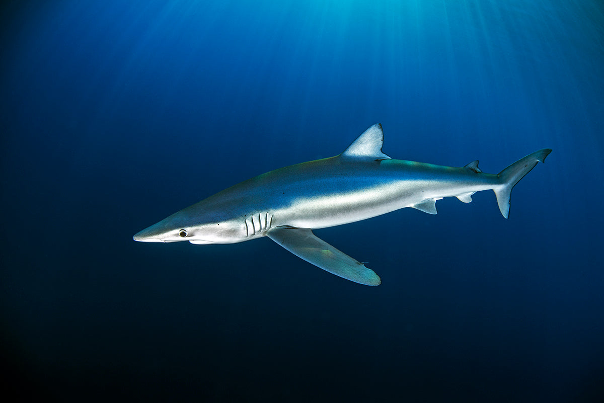 A blue shark cruising gracefully through the crystal clear waters of the Azores